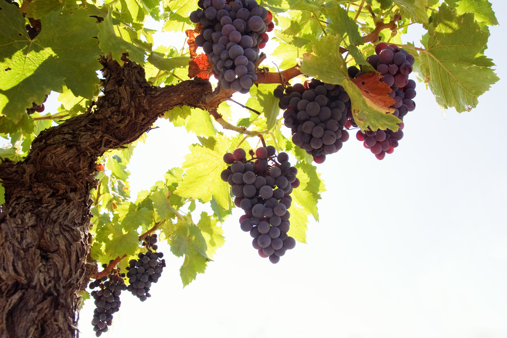 I Am The Vine You Are The Branches Daily Bible Readings